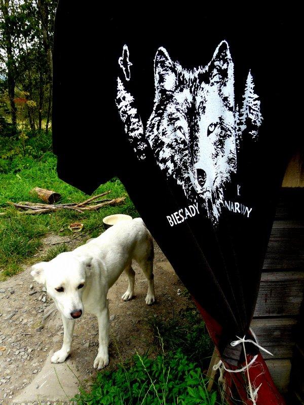 bieszczadzki wilk albinos