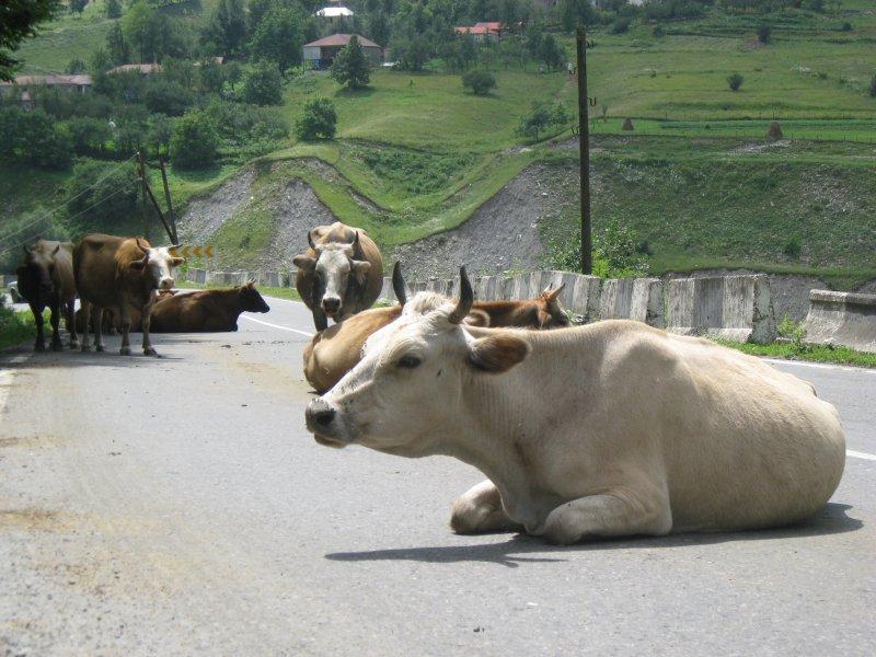 W Gruzji najpierw jest krowa,