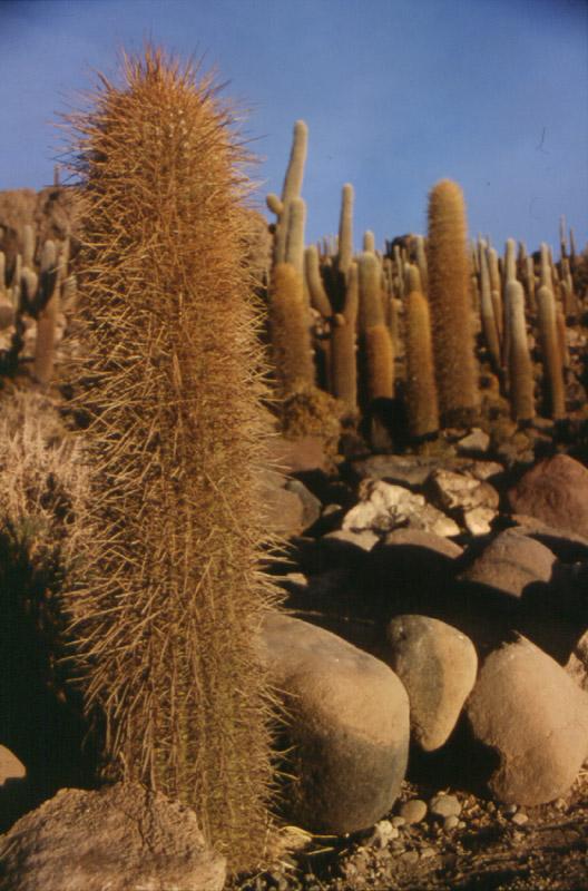 czym jest kaktus każdy wie