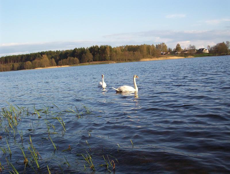 jezioro Schodno a na nim łabątki