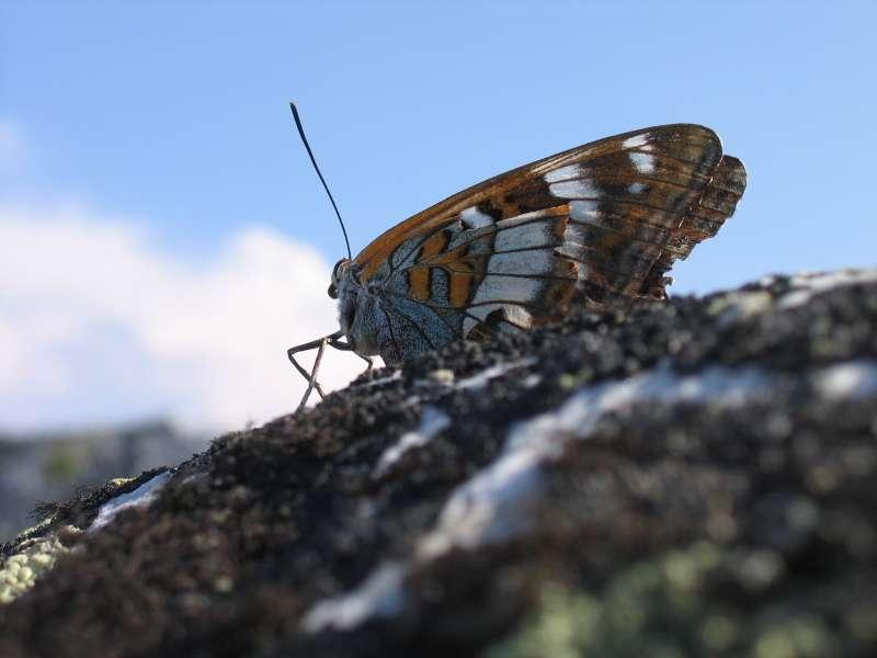 Motyl szczytowy - Naroda 1894 m n.p.m. (+ wysokość motyla)
