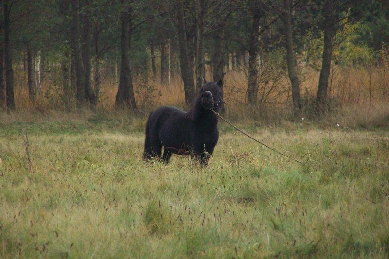 czarny koń na zielonym tle