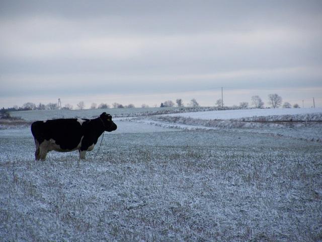 Romantyczna krowa (teraz następuje kilka, raczej posępno-zimowych, kiczyków)