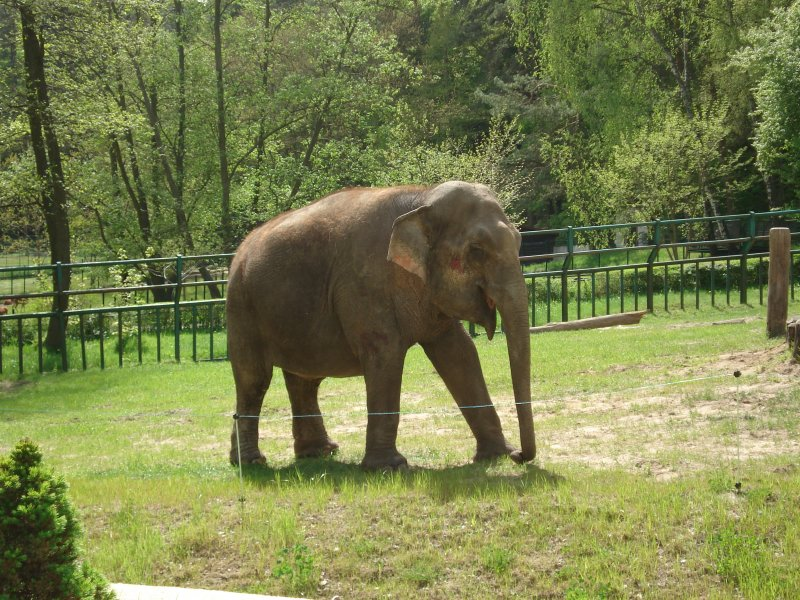 słoń I, albo indyjski albo afrykański :-)