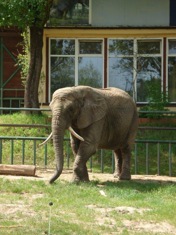 słoń II, albo afrykański albo indyjski :-)